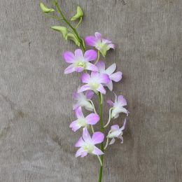Dendrobium Lucian Pink, fresh cut orchid
