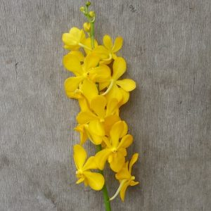 Mokara Chaopraya Yellow, fresh cut orchid