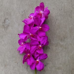 Mokara Boy Pink, fresh cut orchid