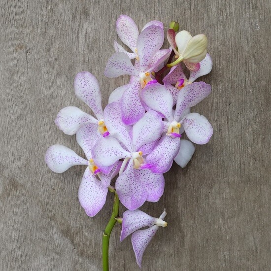Mokara Lawrencia White orchid