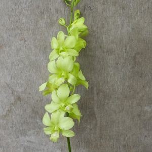 Dendrobium Aridang Green, fresh cut orchid