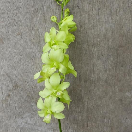 Dendrobium Aridang Green Orchid