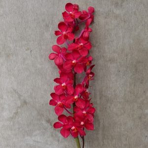 Mokara Red, fresh cut orchid