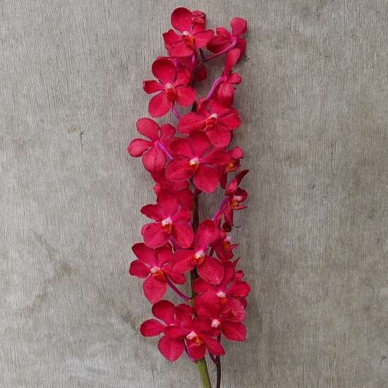 Mokara Red Orchid