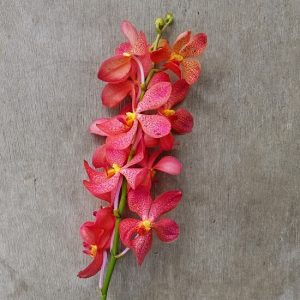 Mokara Chark Kuan Orange, fresh cut orchid