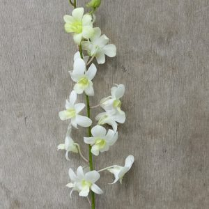 Dendrobium White, fresh cut orchid