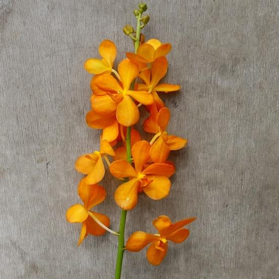 Mokara Gold orchid