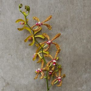 Aranda Tiger fresh cut orchid