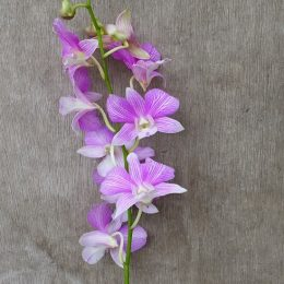 Dendrobium Mother Theresa, fresh cut orchid