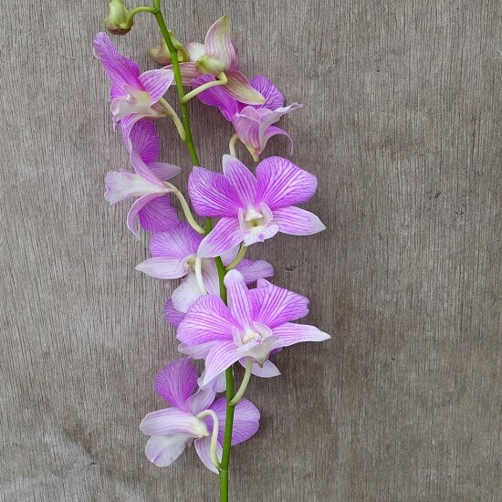 Dendrobium Mother Theresa Orchid