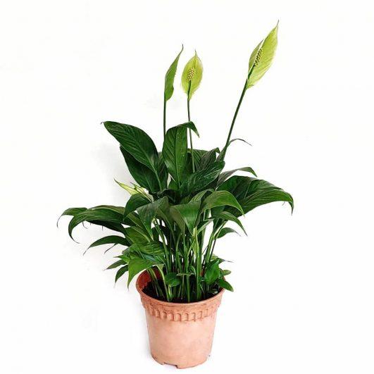 Peace lily $12 (H35,D16)