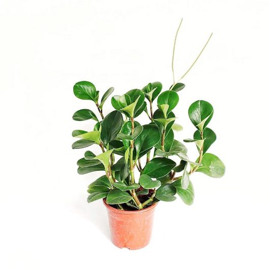 Peperomia $8 (H25,D15)