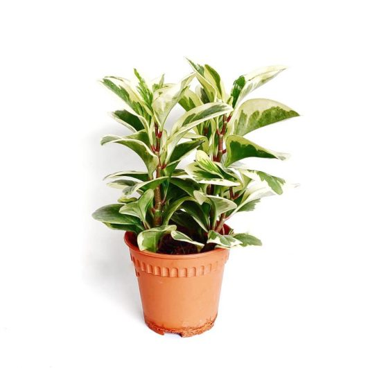 Peperomia $8 (H30,D16)