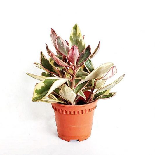 Peperomia $9 (H18,D16)