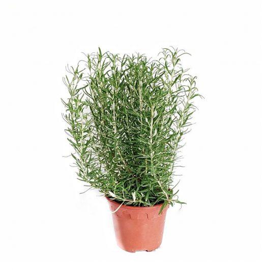 Rosemary $8 (H40,D16)